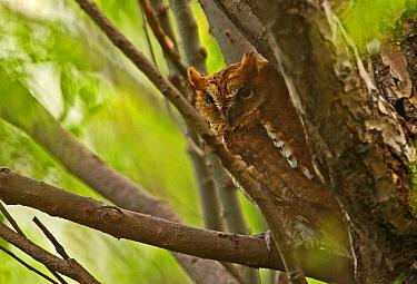 Oriental Scops-owl (Otus sunia stictonotus) rufous morph, adult, perched on branch, Hebei, China, may  -  Neil Bowman/ FLPA