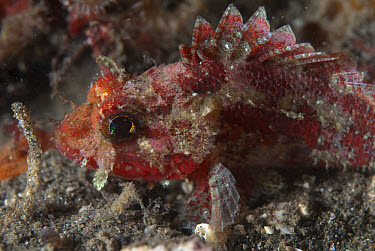 Mozambique Scorpionfish (Parascorpaena mossambica) adult, close-up of head, Lembeh Island, Sulawesi, Indonesia  -  Colin Marshall/ FLPA
