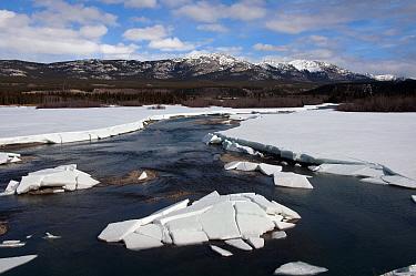View of melting ice on river during spring breakup, Yukon River, Whitehorse, Yukon, Canada, april  -  Mark Newman/ FLPA