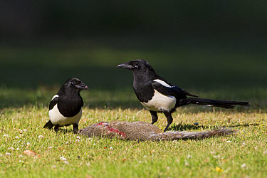 Common Magpie (Pica pica) two adults, feeding on Eastern Grey Squirrel (Sciurus carolinensis) carcass, Oxfordshire, England, june  -  Dickie Duckett/ FLPA