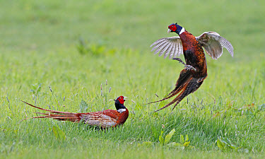 Common Pheasant (Phasianus colchicus) two adult males, fighting in field, Leicestershire, England, may  -  Martin Withers/ FLPA
