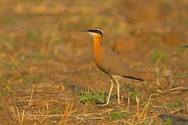 Indian Courser (Cursorius coromandelicus) adult, standing in field, India, february  -  Roger Tidman/ FLPA