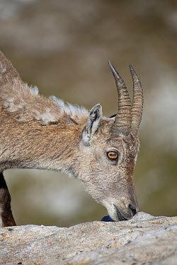 Alpine Ibex (Capra ibex) adult female, close-up of head, feeding on minerals, Niederhorn, Swiss Alps, Bernese Oberland, Switzerland, june  -  Bernd Rohrschneider/ FLPA