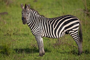 Common Zebra (Equus quagga) adult, standing in savannah, Lake Mburo National Park, Uganda  -  Bernd Rohrschneider/ FLPA