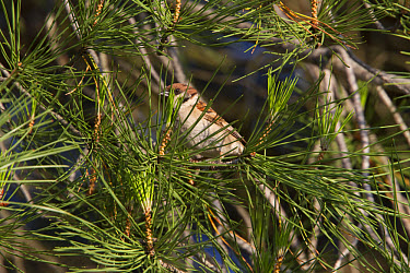 Tree Sparrow in Stone Pine tree, Spain  -  David Hosking/ FLPA