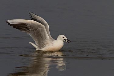 Slender billed gull catching a fish, Coto Donana, Spain  -  David Hosking/ FLPA
