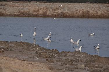 Slender billed gulls with little egret, Coto Donana, Spain  -  David Hosking/ FLPA