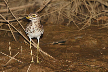 Senegal Thick-knee (Burhinus senegalensis) adult, standing on shore at night, Gambia, january  -  Bernd Rohrschneider/ FLPA
