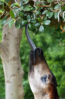 Okapi (Okapia johnstoni) adult, close-up of head, feeding with tongue stretching out for leaves (captive)  -  Mark Newman/ FLPA