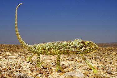 Monarch Chameleon (Chamaeleo monachus) adult, walking on open ground in desert, Socotra, Yemen, march  -  Fabio Pupin/ FLPA