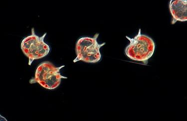 Plankton, Dinoflagellate (Peridinium depressum) x  -  D.P. Wilson/ FLPA