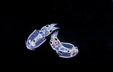 Dwarf Squid (Alloteuthis subulata) Young just hatched, x  -  D.P. Wilson/ FLPA