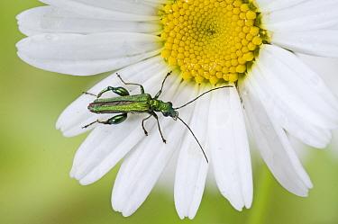 Thick-legged Flower Beetle (Oedemera nobilis) adult male, resting on flower, England, june  -  Derek Middleton/ FLPA
