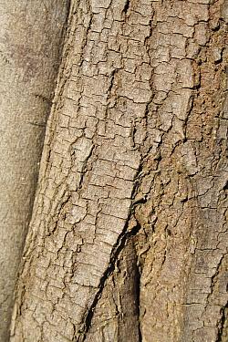 Silver Wattle (Acacia dealbata) close-up of bark, growing in garden, Bembridge, Isle of Wight, England, june  -  Marcus Webb/ FLPA