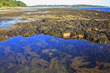 Japanese Wireweed (Sargassum muticum) introduced invasive species, Toothed Wrack (Fucus serratus) and Bladder Wrack (Fucus vesiculosus) fronds, growing in rockpool at low tide, Bembridge, Isle of Wigh...  -  Marcus Webb/ FLPA