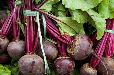 Beetroot (Beta vulgaris sp vulgaris) freshly picked roots on market stall, Norfolk, England, may  -  David Burton/ FLPA