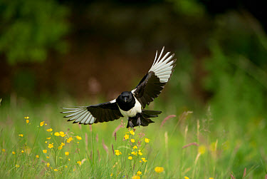 Common Magpie (Pica pica) adult, in flight over meadow, Derbyshire, England, june  -  Andrew Parkinson/ FLPA
