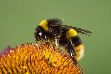 Buff-tailed Bumblebee (Bombus terrestris) adult, feeding on echinacea flower, Essex, England, august  -  Bill Coster/ FLPA