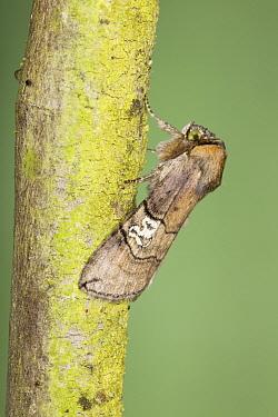 Figure of Eighty (Tethea ocularis) adult, resting on twig, Essex, England, july  -  Bill Coster/ FLPA