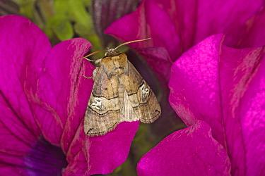 Figure of Eighty (Tethea ocularis) adult, resting on flower, Essex, England, july  -  Bill Coster/ FLPA