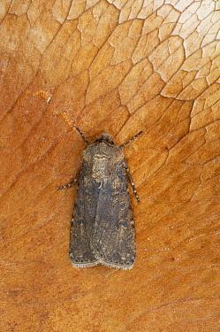 Turnip Moth (Agrotis segetum) adult, Essex, England  -  Bill Coster/ FLPA