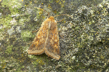 Cotton Bollworm (Helicoverpa armigera) adult, Essex, England  -  Bill Coster/ FLPA