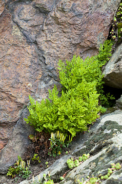 Parsley Fern (Cryptogramma crispa) fronds, growing amongst rocks, Valgrisenche, Aosta Valley, Italian Alps, Italy, july  -  Chris Mattison/ FLPA