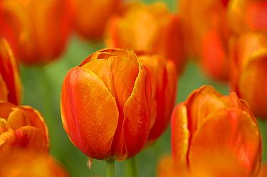 Tulip (Tulipa sp) 'Prince Wilhem Alexander', flowering, Keukenhof Gardens, South Holland, Netherlands  -  Bill Coster/ FLPA
