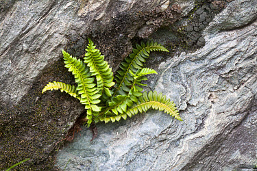 Holly Fern (Polystichum lonchitis) fronds, growing in rock crevice, Valgrisenche, Aosta Valley, Italian Alps, Italy, july  -  Chris Mattison/ FLPA