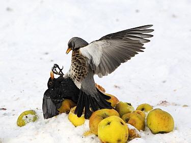 Fieldfare (Turdus pilaris) and European Blackbird (Turdus merula) adults, fighting over apples in snow, West Midlands, England, december  -  Mike Lane/ FLPA