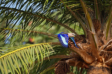 Blue-bellied Roller (Coracias cyanogaster) adult, in flight, taking off from palm tree, Gambia, january  -  Robin Chittenden/ FLPA