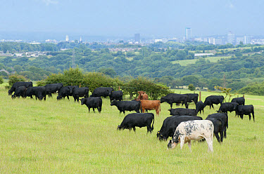 Domestic Cattle, Dexter, British Blue and Aberdeen Angus beef herd, grazing in pasture, with city in distance, Bradford, West Yorkshire, England, july  -  John Eveson/ FLPA