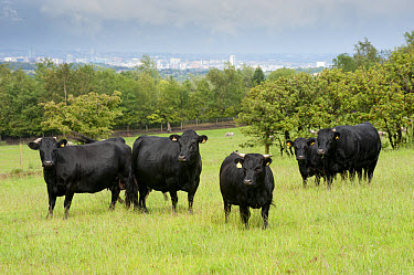 Domestic Cattle, Dexter beef herd, standing in pasture, with city in distance, Bradford, West Yorkshire, England, july  -  John Eveson/ FLPA
