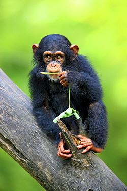 Chimpanzee (Pan troglodytes) young, feeding, sitting on log (captive)  -  Jurgen and Christine Sohns/ FLPA