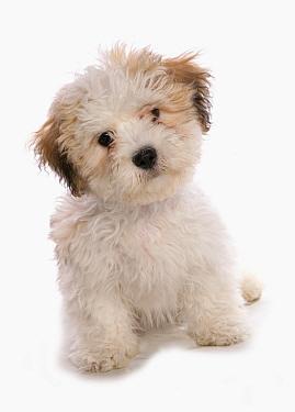 Domestic Dog, Shichon (Shih Tzu x Bichon Frise) designer crossbreed, puppy, sitting  -  Chris Brignell/ FLPA