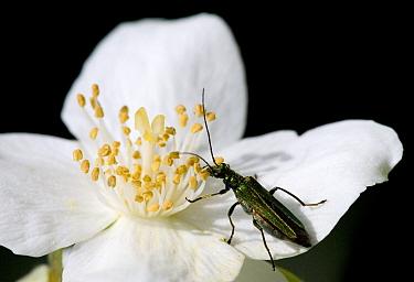 Thick-legged Flower Beetle (Oedemera nobilis) adult female, feeding on pollen at flower, Dorset, England, june  -  Chris Brignell/ FLPA