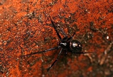 Cupboard Spider (Steatoda grossa) adult, in empty flowerpot, Hampshire, England, october  -  Chris Brignell/ FLPA