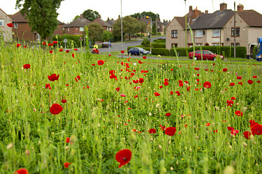 Corn Poppy (Papaver rhoeas) flowering mass, planted in city housing estate, Parson Cross, Sheffield, South Yorkshire, England, may  -  Paul Hobson/ FLPA