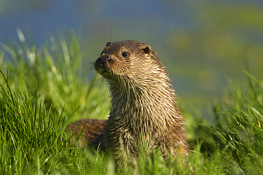 European Otter (Lutra lutra) adult female, standing on riverbank, Norfolk, England, may (captive)  -  Paul Hobson/ FLPA