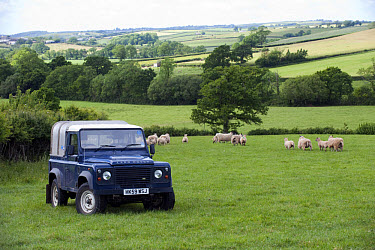 Land Rover in pasture with sheep flock, Devon, England, may  -  Wayne Hutchinson/ FLPA