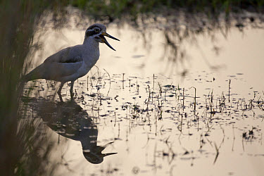 Great Thick-knee (Esacus recurvirostris) adult, calling, standing in water, Ranthambore National Park, Rajasthan, India  -  Bernd Rohrschneider/ FLPA