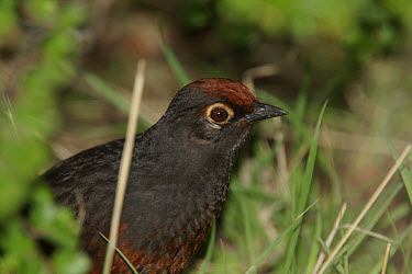 Black-throated Huet-huet (Pteroptochos tarnii) adult, close-up of head, El Chalten, Santa Cruz, Argentina, november  -  James Lowen/ FLPA