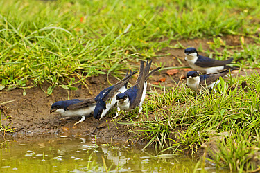 House Martin (Delichon urbica) five adults, collecting mud for nesting material from puddle on farmland, Warwickshire, England, june  -  Tony Hamblin/ FLPA