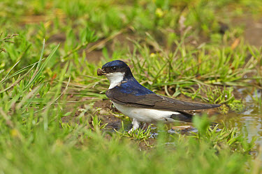 House Martin (Delichon urbica) adult, collecting mud for nesting material from puddle on farmland, Warwickshire, England, april  -  Tony Hamblin/ FLPA