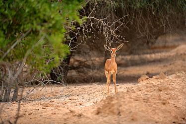 Sand Gazelle (Gazella subgutturosa marica) young, among scrub vegetation on Sir Bani Yas Island, Abu Dhabi, United Arab Emirates  -  Nigel Cattlin/ FLPA