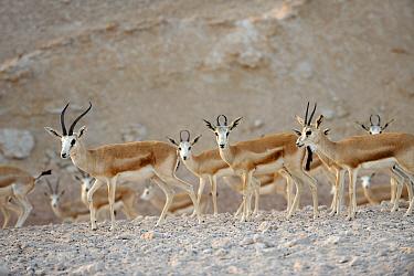 Sand Gazelle (Gazella subgutturosa marica) herd, Sir Bani Yas Island Wildlife Reserve, Abu Dhabi, United Arab Emirates  -  Nigel Cattlin/ FLPA