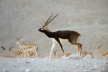 Blackbuck (Antilope cervicapra) breeding male, Sir Bani Yas Island Wildlife Reserve, Abu Dhabi, United Arab Emirates  -  Nigel Cattlin/ FLPA