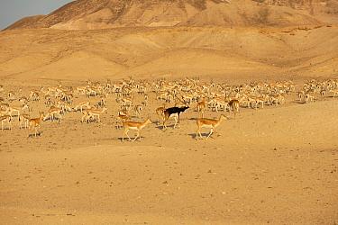 Blackbuck (Antilope cervicapra) and Sand Gazelle (Gazella subgutturosa marica) herd, Sir Bani Yas Island Wildlife Reserve, Abu Dhabi, United Arab Emirates  -  Nigel Cattlin/ FLPA