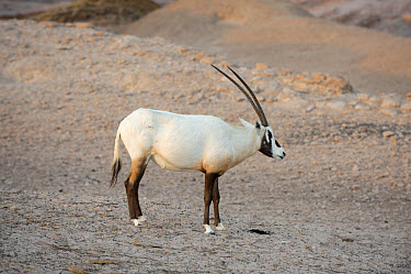Arabian Oryx (Oryx leucoryx) on Sir Bani Yas Island Wildlife Reserve, Abu Dhabi, United Arab Emirates  -  Nigel Cattlin/ FLPA