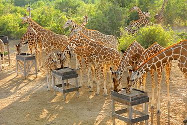 Giraffe (Giraffa camelopardalis) adults and young, herd at feeding station on Sir Bani Yas Island, Abu Dhabi, United Arab Emirates  -  Nigel Cattlin/ FLPA